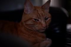 DSCF2200 (Ishtography) Tags: ginger cat gingercat feline portraiture kitty kitten cute aww orange photo