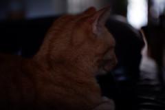 DSCF2199 (Ishtography) Tags: ginger cat gingercat feline portraiture kitty kitten cute aww orange photo