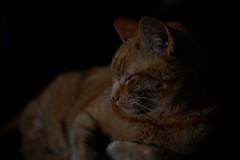 DSCF2207 (Ishtography) Tags: ginger cat gingercat feline portraiture kitty kitten cute aww orange photo