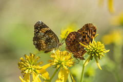 Silvery Checkerspot (left) Meadow Fritillary (right) (Bernie Kasper (6 million views)) Tags: family flowers flower color colour green art floral butterfly bug insect fun eyes hiking butterflies indiana insects bugs d750 berniekasper indianawildflowers indianabutterflies park new old travel light summer usa macro love nature landscape outside outdoors photography leaf nikon raw unitedstates photos outdoor sigma trail wildflowers wildflower naturephotography nwr meadowfritillary madisonindiana silverycheckerspot