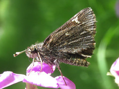 Common roadside skipper (Amblyscirtes vialis) (tigerbeatlefreak) Tags: common roadside skipper amblyscirtes vialis butterfly lepidoptera hesperiidae nebraska