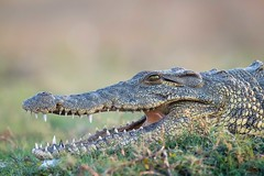 Croc Headshot (Glatz Nature Photography) Tags: africa botswana choberiver glatznaturephotography nature nikond850 wildanimal wildlife nilecrocodile crocodylusniloticus teeth chobenationalpark