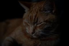 DSCF2206 (Ishtography) Tags: ginger cat gingercat feline portraiture kitty kitten cute aww orange photo