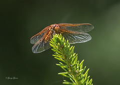 Common Darter_Backyard (Photos_By George) Tags: backyard dragonfly