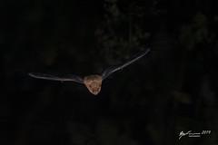 Common Pipistrelle (R. Francis) Tags: pipistrelluspipistrellus commonpipistrelle garlieston riggbay scotland ryanfrancis ryanfrancisphotography uk unitedkingdom britain