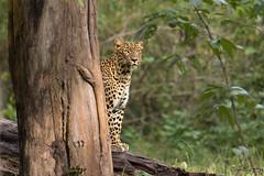 Hide and Seek. . . (Rakesh Kumar Dogra) Tags: leopard panthera pardus panther mudumalaitigerreserve mudumalai rakeshkumardogra naturephotography nature fauna carnivore