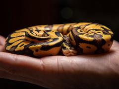 Ball python (nopper300) Tags: snake ballpython python exotic pet oklahoma reptiles canon 80d show summer colors
