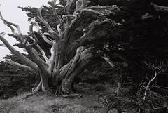 Cypress (bingley0522) Tags: leicaiiic zeissjenasonnar50mmf15ltm xp2 pointlobos montereycounty cypress tree californialandscape coastalcalifornia autaut