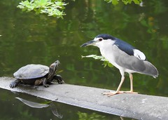 Back Off! (gwuphd) Tags: nikon p900 bird turtle