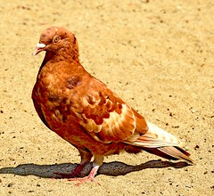 Red And White Pigeon (stevblock) Tags: red and white pigeon