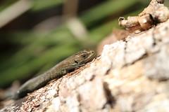 Neonate Common Lizard (ChristianMoss) Tags: neonate common lizard reptile eppingforest