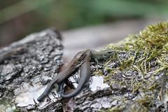 Common Lizards (neonates) (ChristianMoss) Tags: neonate common lizard reptile eppingforest