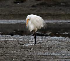White heron (Maureen Pierre) Tags: whiteheron greategret