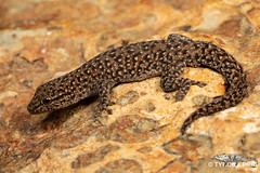 Lygodactylus ocellatus -  Spotted Dwarf Gecko. (ping.tyrone) Tags: lygodactylus ocellatus spotted dwarf gecko geckos cuetnature creature cute nature herps herping reptile reptiles wild wildlife mpumalanga africa african south southern canon 5dmiii 100mm f28 usm is l macro wwwtyronepingcoza tyrone ping winter