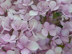 Ορτανσία!!   P1080504 (amalia_mar) Tags: hydrangea flower flora fiori fleur garden purple pinkpurplewednesday colorfulnature sundaylights details closeup macro