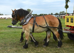Brabants (Snapshooter46) Tags: brabant heavyhorse draughthorse coveredwagon greatbuckssteamandcountryfair shabbington 2019 team harness