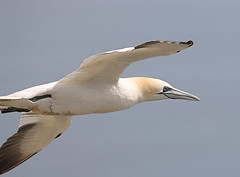 Close up Gannet in flight (jpotto) Tags: uk yorkshire bempton rspb bird gannet