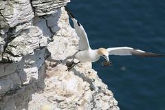 Take off (jpotto) Tags: uk yorkshire bempton bird gannet