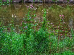 Flowers on the bank (ruedigerdr49) Tags: river flower nature blossoms outdoor water green