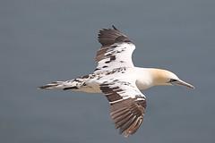 Juvenile Gannet (jpotto) Tags: uk yorkshire bempton rspb bird gannet