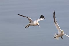 Near miss (jpotto) Tags: uk yorkshire bempton rspb bird gannet