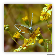 """Common Blue (M) in """"Explore"""" (pete #hwcp) Tags: depthoffield hwcp butterfly nikonp1000 summer wickedweasel common blue m"""