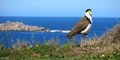 Masked Lapwing with a View (Lani Elliott) Tags: nature naturephotography bird lapwing maskedlapwing scene scenic bluesky vanellusmiles water ocean