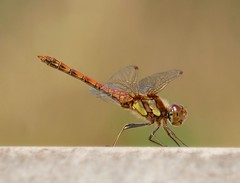 Dragonfly (PhotoLoonie) Tags: dragonfly insect summer wildlife nature commondarter