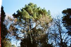 I like trees (Matthew Paul Argall) Tags: kodakvr35k4 fixedfocus 35mmfilm kodakultramax400 kodak400 ultramax 400isofilm tree trees