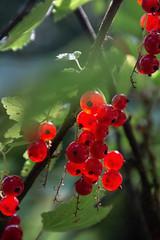полакомилась смородиной (snd2312) Tags: finland suomi summer nature luonto kesä outdoors