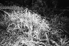 Blade grass (Matthew Paul Argall) Tags: kodakstar500af 35mmfilm blackandwhite blackandwhitefilm ilforddelta100 100isofilm grass weeds autofocus