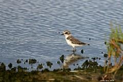 (Enllasez - Enric LLaó) Tags: chorlitejo aves aus bird birds ocells pájaros deltadelebre deltadelebro delta 2019