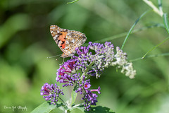 BVG_1636 (Borreltje.com) Tags: vlinder vlinders butterfly butterflies insect insects color colors beautiful colorful nice garden nature tuin