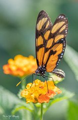 BVG_1978 (Borreltje.com) Tags: vlinder vlinders butterfly butterflies insect insects color colors beautiful colorful nice
