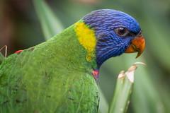 Rainbow lorikeet (Matt H. Imaging) Tags: ©matthimaging bird rainbowlorikeet lorikeet animal animalplanet colourful colors wildlands emmen netherlands sony slt sonyalpha slta77ii ilca77m2 a77ii minolta minolta80200mmf28apoghs minoltaaf80200mmf28hsapog fauna