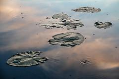 листья кувшинки и небо (snd2312) Tags: finland suomi summer nature luonto kesä outdoors