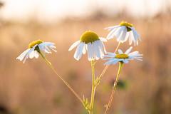camomile in the sun (snd2312) Tags: finland suomi summer nature luonto kesä outdoors