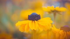 Coneflower (Dhina A) Tags: sony a7rii ilce7rm2 a7r2 a7r kaleinar mc 100mm f28 kaleinar100mmf28 5n m42 nikonf russian ussr soviet 6blades manualfocus coneflower rudbeckia blackeyed susan summer flower bokeh