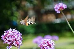hummingbird hawk-moth (sure2talk) Tags: hummingbirdhawkmoth macroglossumstellatarum park southampton city citycentre nikond7000 nikkor1855mmf3556afs 119picturesin201916busy verbena