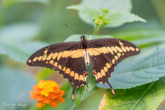 BVG_2121 (Borreltje.com) Tags: vlinder vlinders butterfly butterflies insect insects color colors beautiful colorful nice