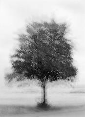 Multi-expo: Solitary Tree (LarsHolte) Tags: pentax 645 pentax645 645n 6x45 smcpentaxfa 75mm f28 120 film 120film analog analogue kosmo foto mono 100iso rodinal aph09 mediumformat blackandwhite classicblackwhite bw monochrome filmforever filmphotography ishootfilm larsholte homeprocessing multiexpo multiexposure tree