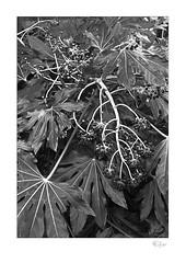 Fatsia Japonica (radspix) Tags: yashica 230af 3570mm kyocera f3345 arista edu ultra 100 pmk pyro