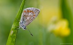 _ZAA4966 (De Hollena) Tags: blauwtje bläuling butterfly mariposa papillon schmetterling vlinder