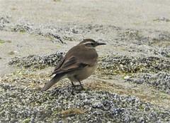 Life Bird: Gray-Flanked Cinclodes! (Ruby 2417) Tags: rare rarity life lifer cinclodes bird wildlife nature beach cachagua chile seashore shore coast birding