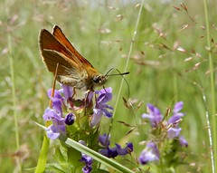 Skipper (rockwolf) Tags: skipper butterfly papillon lepidoptera insect feeding parcduperche france 2019 rockwolf