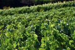 Laines-aux-Bois 2 August 2019 019 (paul_appleyard) Tags: lainesauxbois aube france august 2019 vines