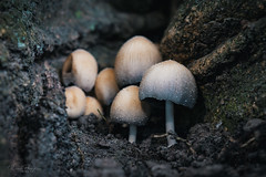 Hidden summer mushrooms (Rico Plooster) Tags: fotografie photography canon canoneos80d nederland holland dutch thenetherlands mushroom fungi paddenstoel nature macro brielle