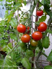 August 14th, 2019 Cherry tomatoes (karenblakeman) Tags: cavershamgarden caversham uk tomatoes cherrytomatoes 2019 august 2019pad reading berkshire
