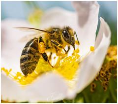 Gold (javiblue25) Tags: macro macrophotography nikonistasspain wildlifenature naturephotography naturelovers closeup bug aragon nikond500 nikon tamron90tamron90mm bee sweetbee macrolove naturalezaspain macroviewpoint