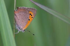 Leek-kuldtiib; Lycaena phlaeas; Small Copper (urmas ojango) Tags: lepidoptera liblikalised insecta putukad insects butterfly sinilibliklased lycaenidae leekkuldtiib lycaenaphlaeas smallcopper